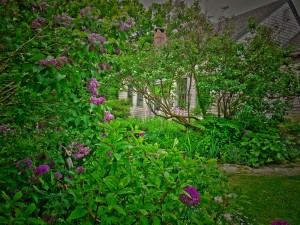 Lilacs, Alliums and Sweet Dames Rocket line the walkway.