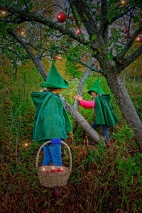 Gnomes Harvesting apples