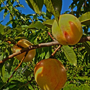 peaches and porcipines  (7)