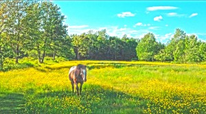 Old Horse in the Buttercups