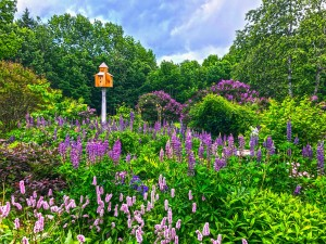 Lilacs and Lupine (4)