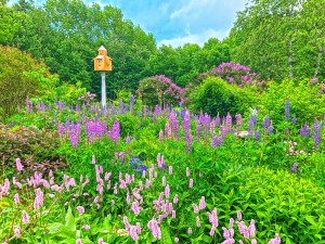 Lilacs and Lupine (5)